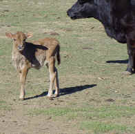 Heifer cow for sale